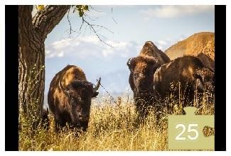bison 25